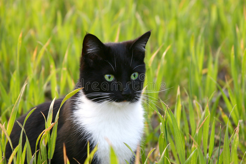 Download Bright eyed cat stock photo. Image of field, wheat, spring - 2307604