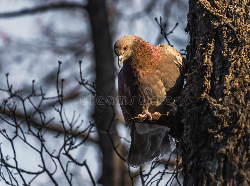 A bright-eyed redhead dove with red rainbow neck sits on a bough of a tree in the park royalty free stock photo