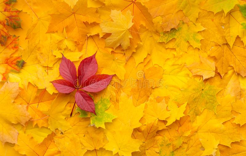 Bright fallen red maple leaf on autumn yellow background. Leadership concept. Bright fallen red maple leaf on autumn yellow background royalty free stock photography