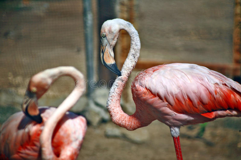 Bright feathers. A head with a huge beak and yellow interested eyes and a thin neck flamingo at the zoo. Beautiful pink plumage, the majestic style, slow, beauty stock photos