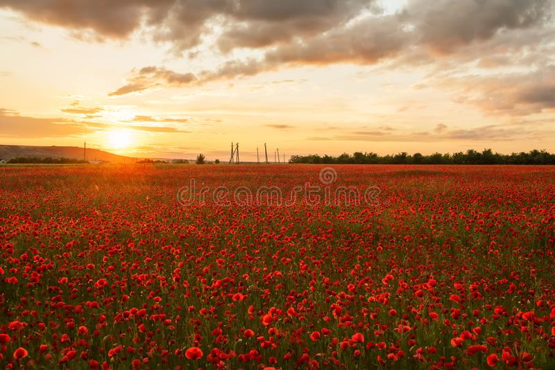 A bright field with blooming red poppies among the hills at sunset. Selective focusn royalty free stock photo