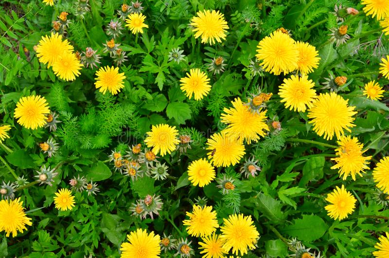 Bright floral background. Yellow dandelions and green grass. Blooming and faded flowers. Flowering meadow in the summer sun royalty free stock photography