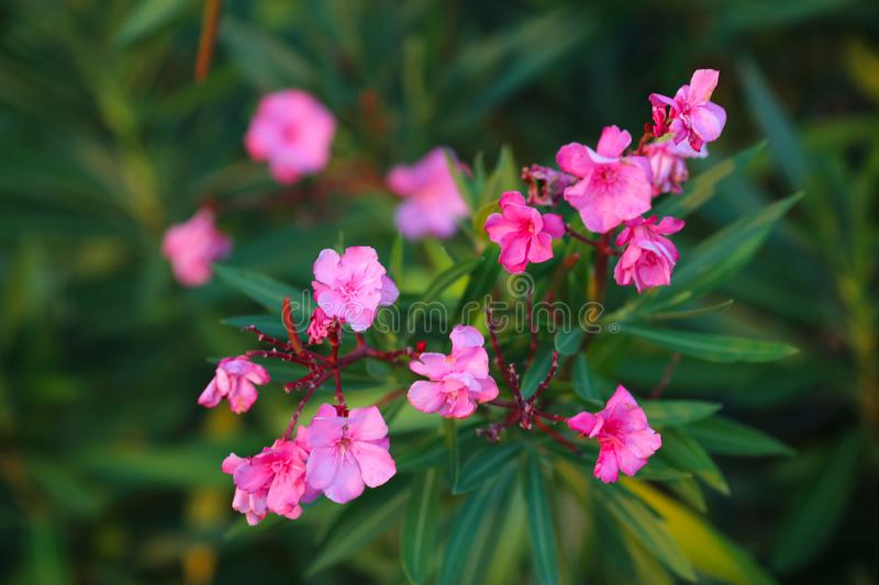 Bright flower Bush close-up. Macro royalty free stock image