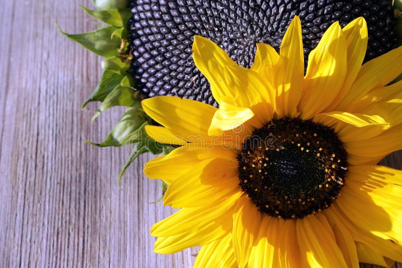 Bright flower of a sunflower with black seeds and bright yellow flower in the background royalty free stock images
