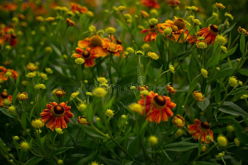 Bright flowering shrub of garden flowers. Lush, flowering shrub of bright, orange, garden flowers in the sun royalty free stock photo
