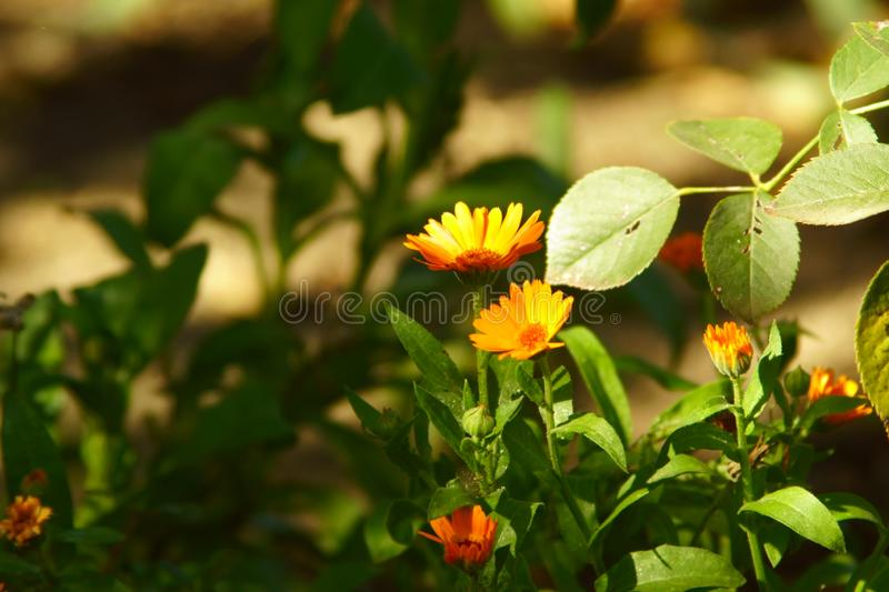 Bright flowers as autumn suns stock images