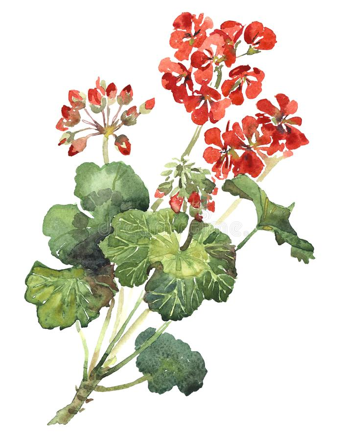 Bright flowers of scarlet geranium beautiful watercolor royalty free stock photos