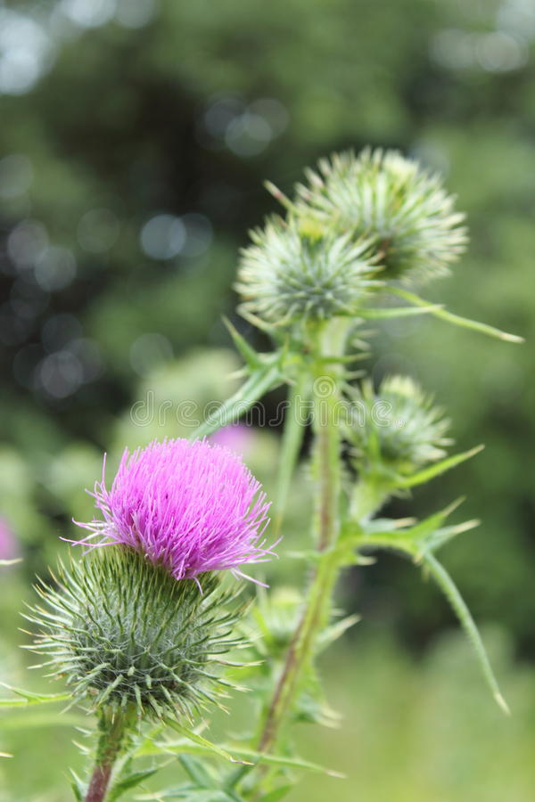 Download Bright Fluffy Purple Thistle Flower Stock Photo - Image: 20304878