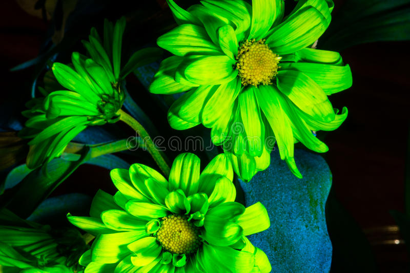 Bright Fluorescent Green Flowers Daisy Arrangement. Of flowers to make any girl smile , the smell of flowers and the sight makes woman wet with happiness royalty free stock photo