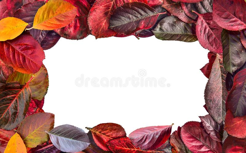 Bright frame of Aronia melanocarpa Chokeberry autumn leaves royalty free stock images