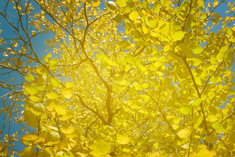 Bright Golden leaves of Northern aspens on a Sunny autumn day stock photography