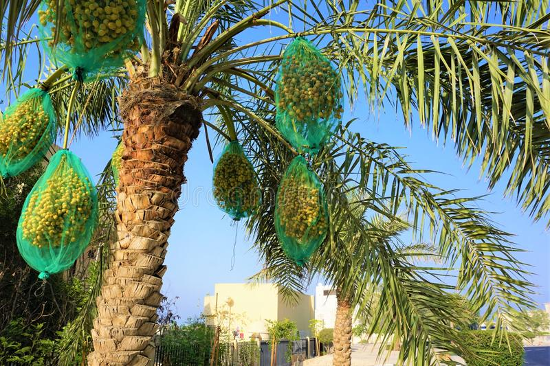 Bagged palm dates hanging from palm tree in Qatar. Bright green bags encapsulate the bundles of unripened date fruit. As the dates mature they drop into the bag stock photos