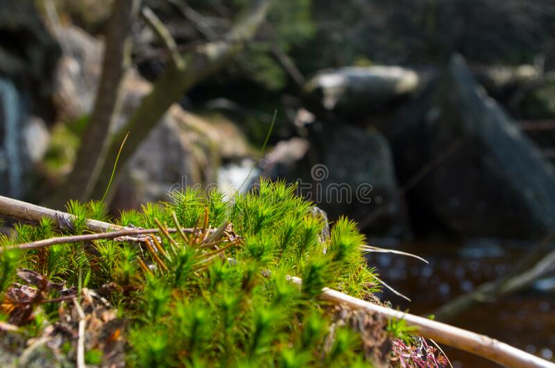 Bright green color moss. Fluffy and soft near small water stream and green grass near. Beautiful background of Czech nature royalty free stock image