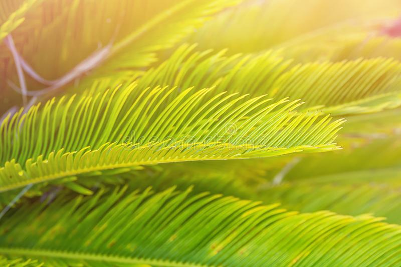 Bright Green Feather Like Leaves of Sago Cycad Palm Tree in Golden Pink Sunlight Flare. Tropical Foliage Botanical Background. Summer Vacation Relaxation royalty free stock images