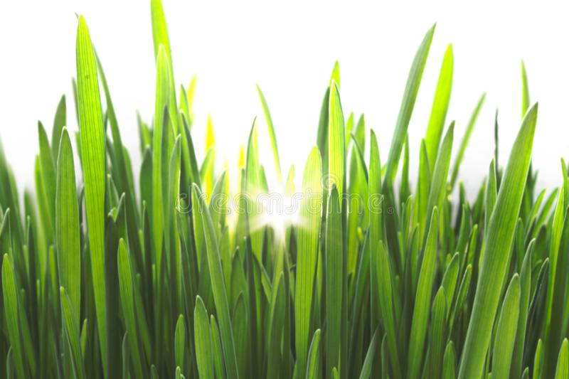 Bright Green Fresh Grass Isolated on White Background with Sunlight royalty free stock photos