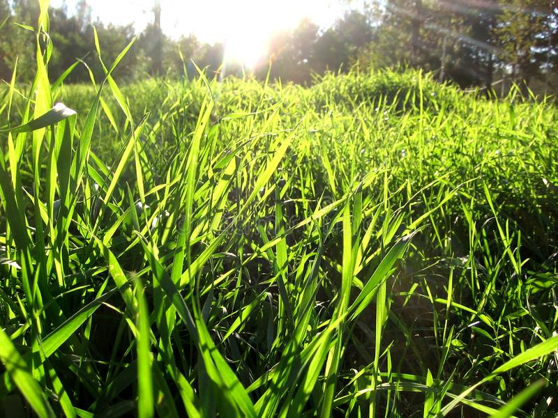 Bright green fresh juicy emerald grass carpet of blades of grass summer background. Illuminated by sunlight shines in the rays royalty free stock images