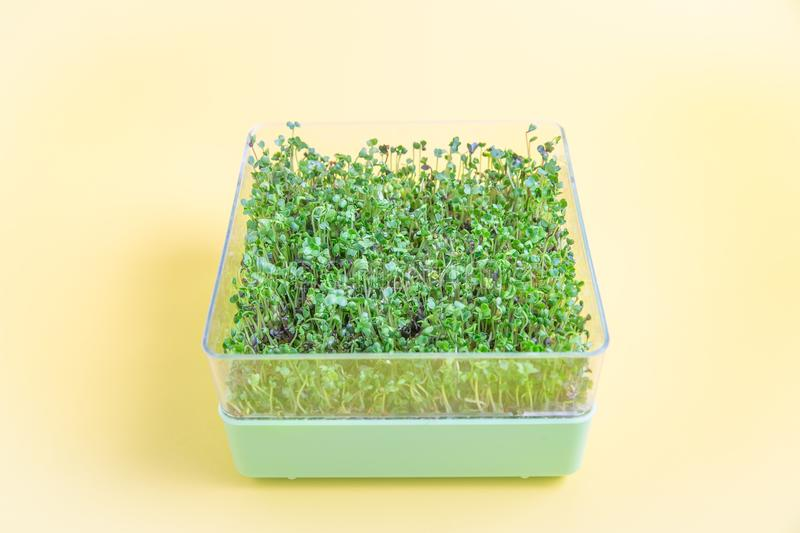 Fresh sprouted microgreens on yellow. Bright green fresh microgreens salad mix sprouted in a square dish on yellow background royalty free stock images