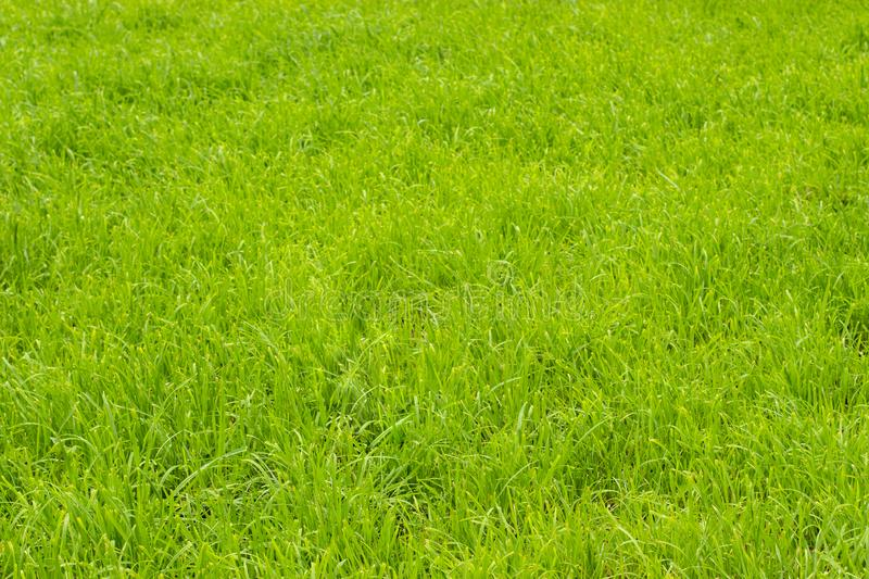 Bright green grass on the lawn, background wallpaper texture banner. Lawn grass, no people stock photos