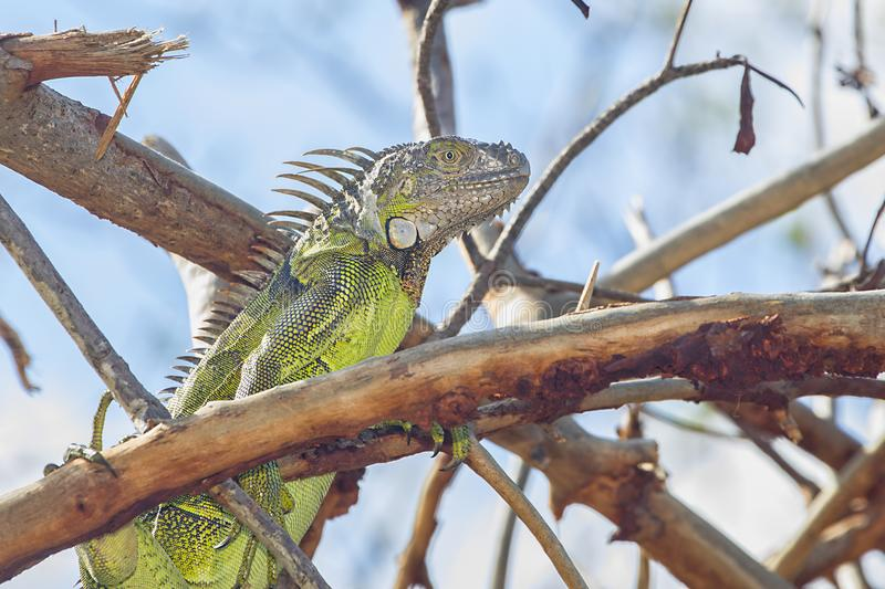 Bright Green Iguana With Grey Head Closeup. Closeup of a bright green iguana with a grey head stock photography