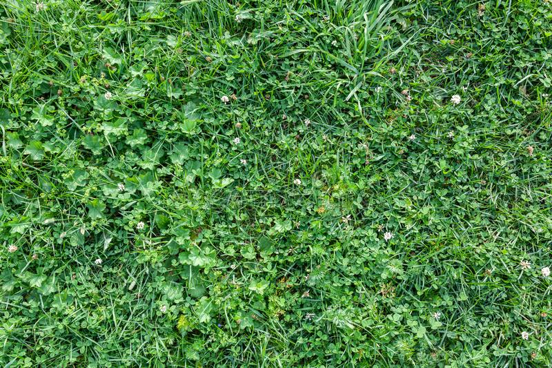 Bright green lawn from various types of grass. Green vegetative wall  on a summer day. pattern of grass of different sizes royalty free stock image