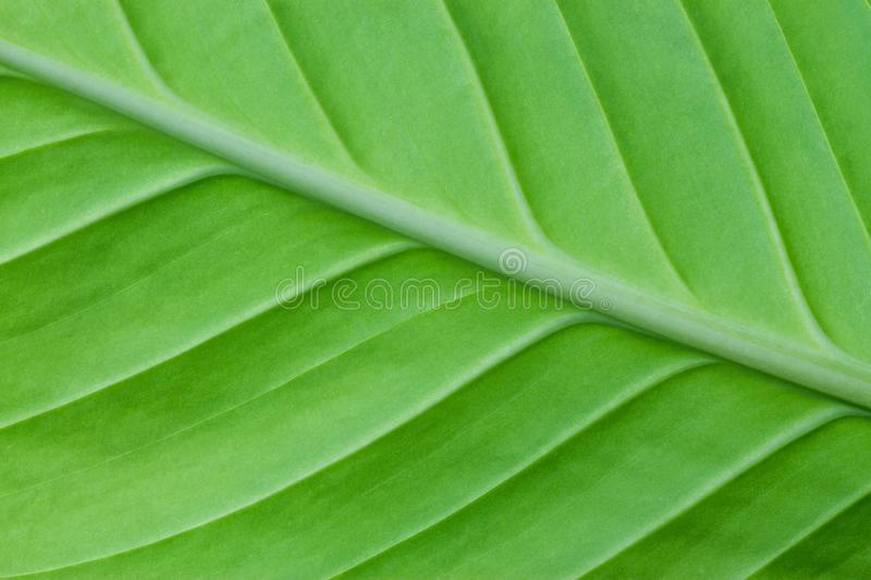 Bright green leaf of a plant close up royalty free stock photography