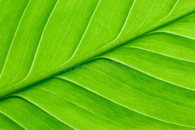 Bright green leaf of a plant close up royalty free stock photo