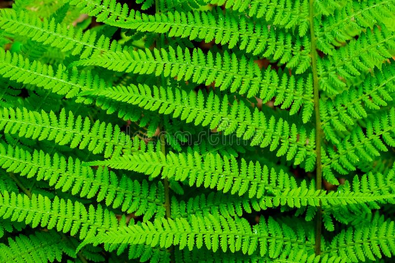 Bright green leaves of a caucasian fern royalty free stock images