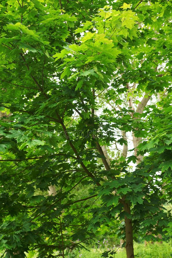 Bright, green maple tree foliage stock photography