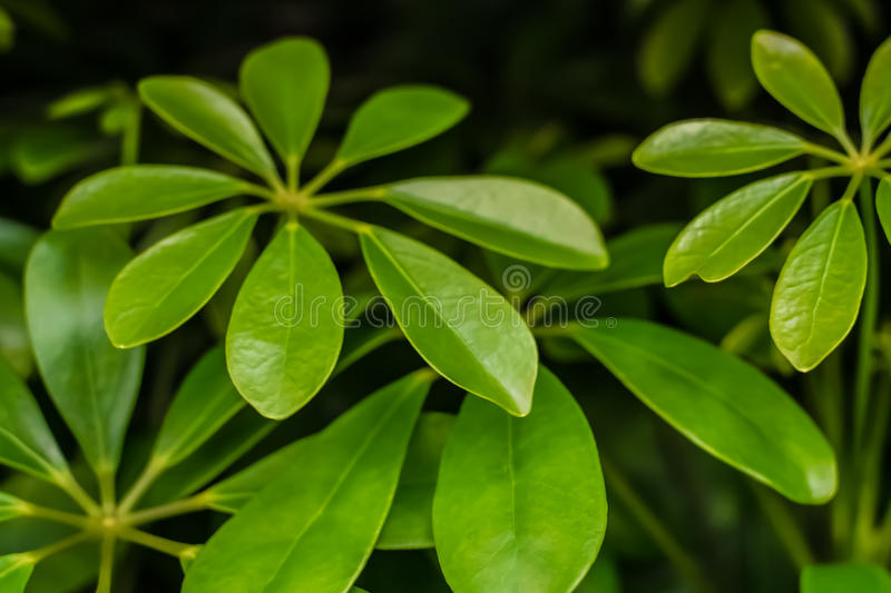 Bright green Monstera plant leaves closeup view stock photos
