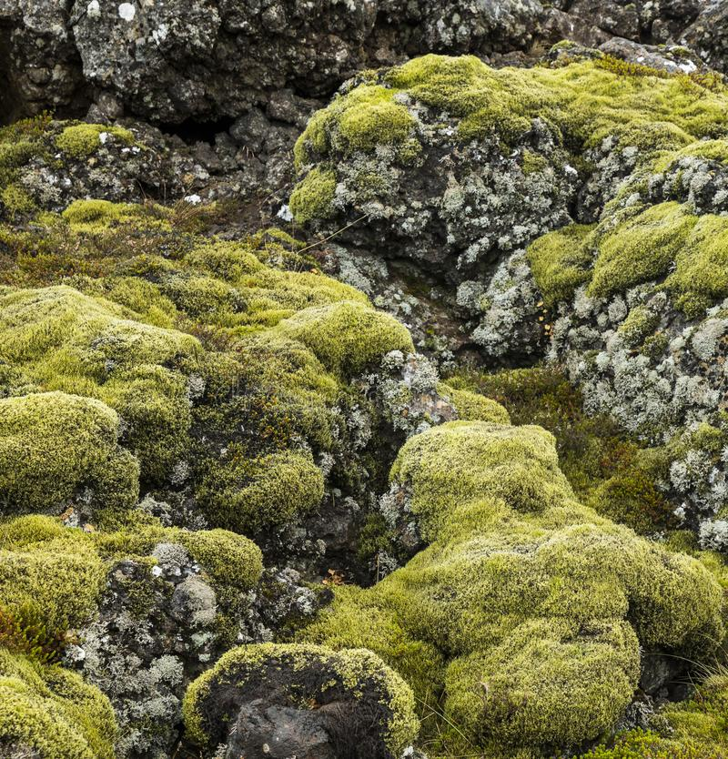 Bright green moss and gray lichen covered basalt or volcanic rock stock image