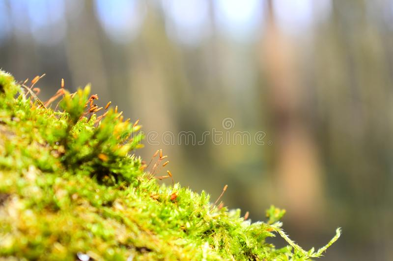 Bright green moss on the tree trunk. Visible all the particles in the moss in the bright rays stock photography