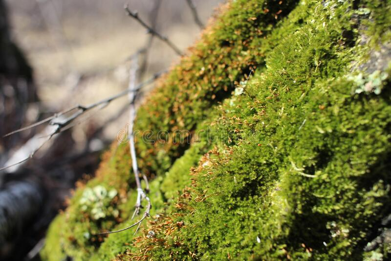 Bright, green moss vegetation in the forest in spring macro photography stock image
