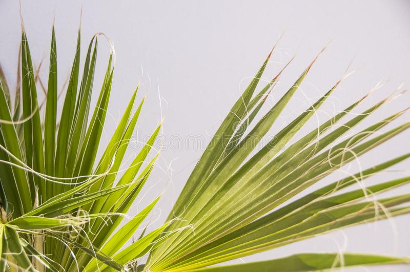 Bright green palm leaves against a white wall. Natural light. stock photo