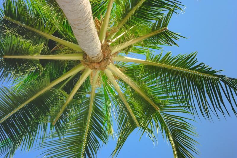 Bright green palmtree leaves view under tree. Bright green huge palmtree leaves view under tree royalty free stock image
