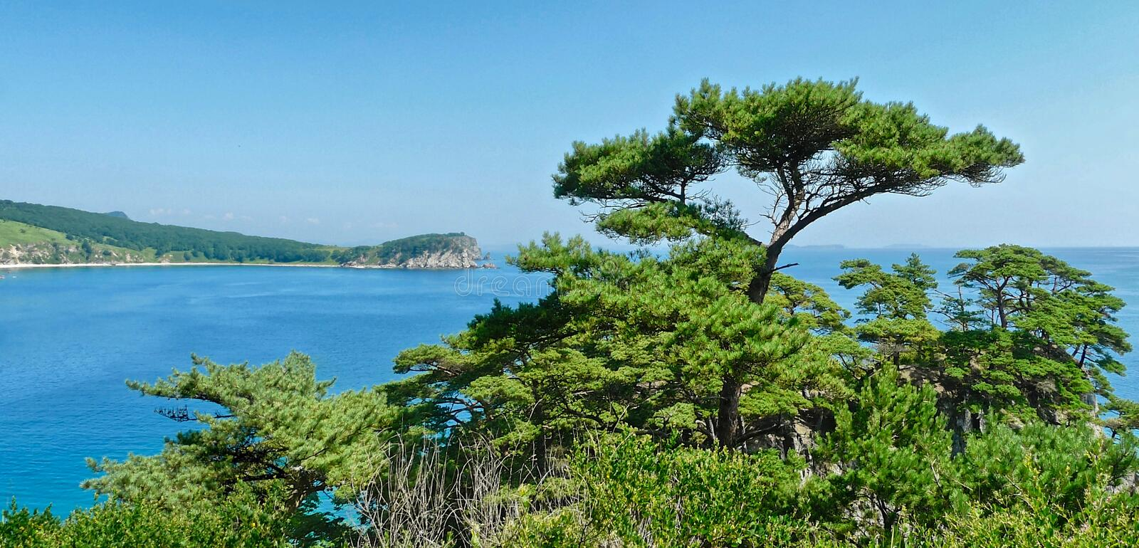 Bright green pines on the coastal cliffs on the blue bay on a sunny summer day, Sea of Japan. there stock photos