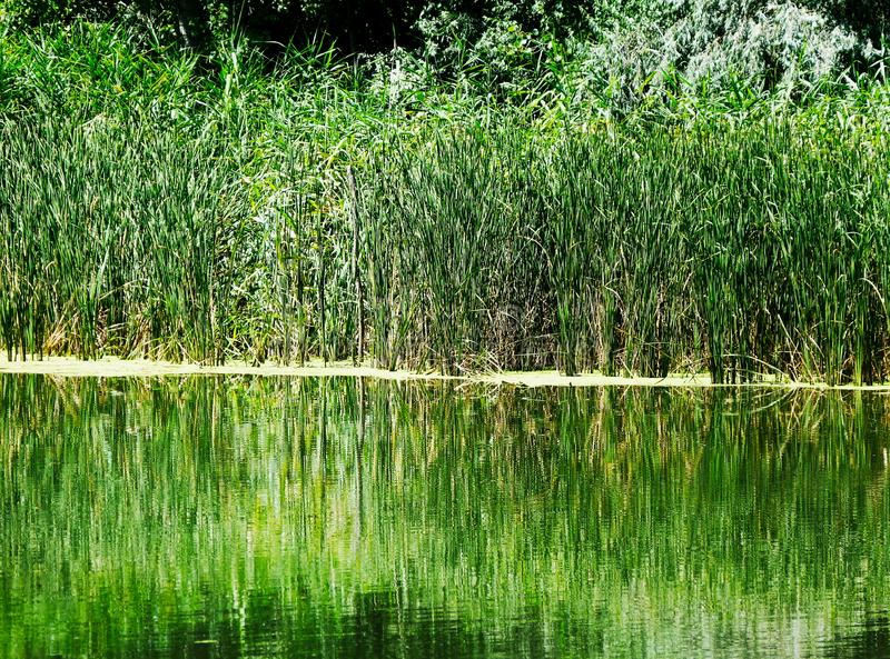 Bright green reeds and trees in spring reflecting on a small lake stock photography