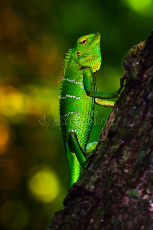 Free Bright Green Scaled Forest Lizard. Royalty Free Stock Photo - 133033645