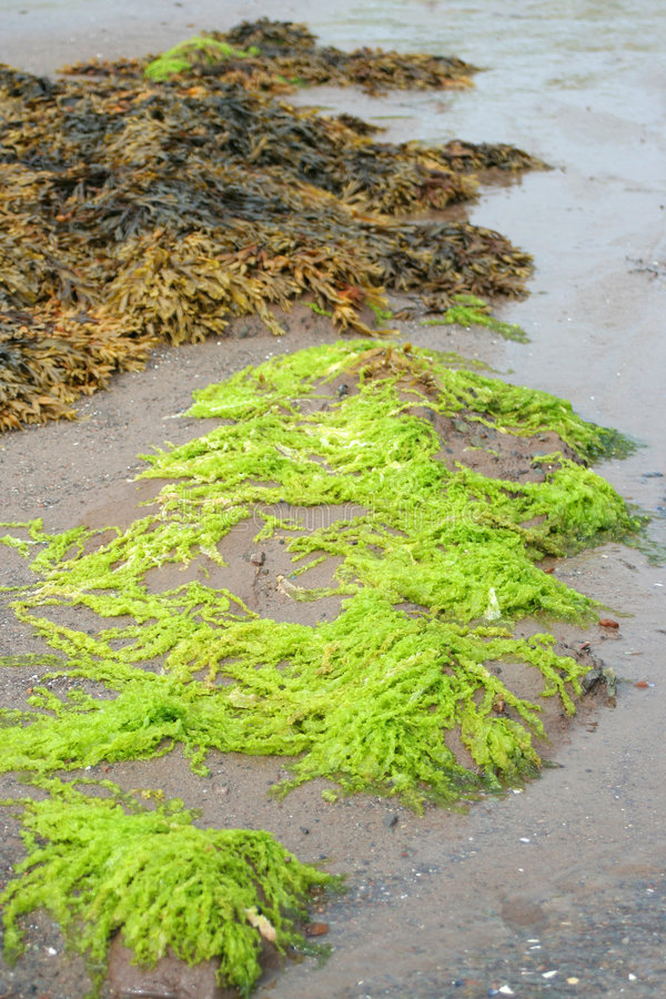 Download Bright green seaweed stock photo. Image of salty, rocky - 6396836