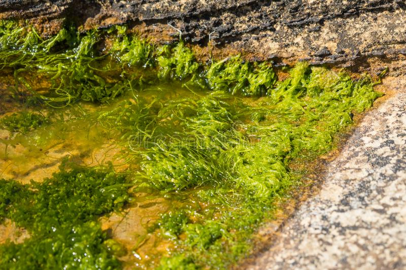 Seaweed in a rock pool by the sea shore royalty free stock photography
