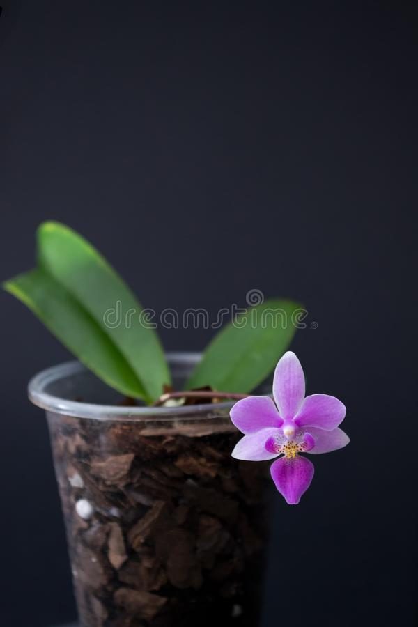 Bright green small orchid with two green leaves and a pink flower. Grows in a pine bark on a dark background. Phalaenopsis equestris stock images