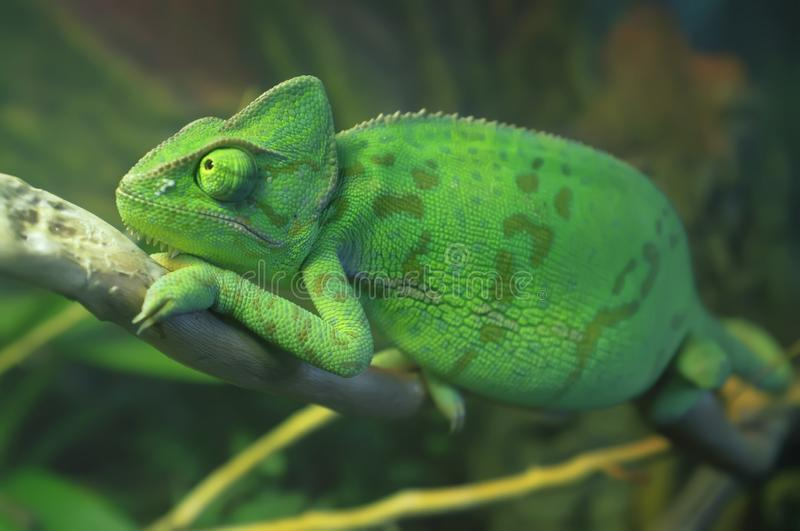 Bright green spotted chameleon sitting on the branch. Veiled chameleon Chamaeleo calyptratus in terrarium. Close-up.  stock images