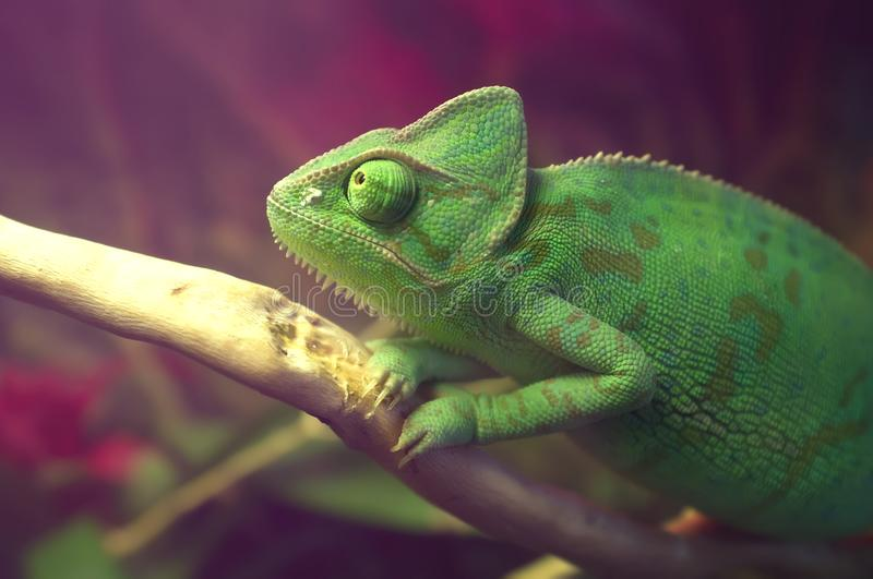 Bright green spotted chameleon sitting on the branch. Veiled chameleon Chamaeleo calyptratus in terrarium. Close-up.  stock photos