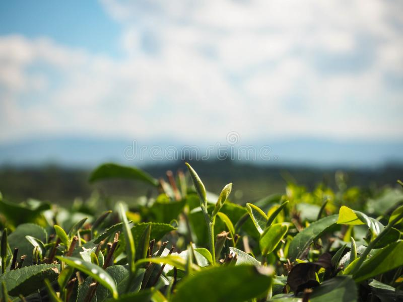 Bright green tea leaves, Tea plantation park. With bright blue sky stock photos