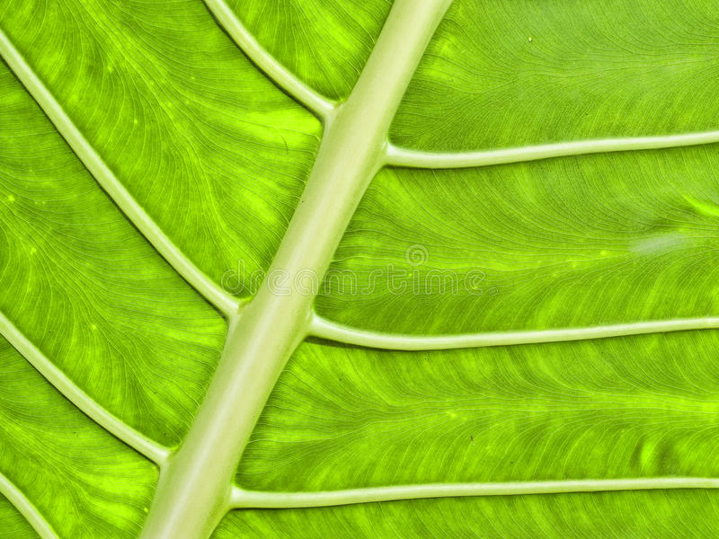 Bright Green Tropical Leaf Royalty Free Stock Photography