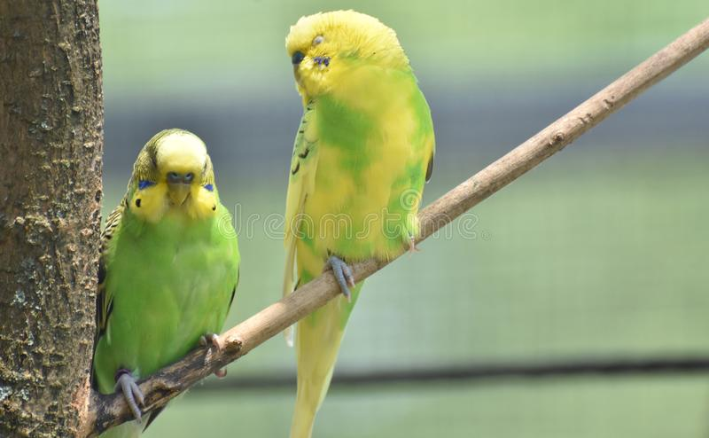 Bright Green and Yellow Common Parakeets Perched in a Tree royalty free stock photos