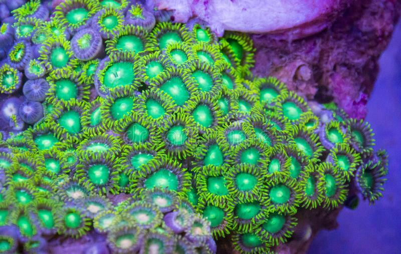 Bright Green Zoanthid Polyp Soft Corals royalty free stock images