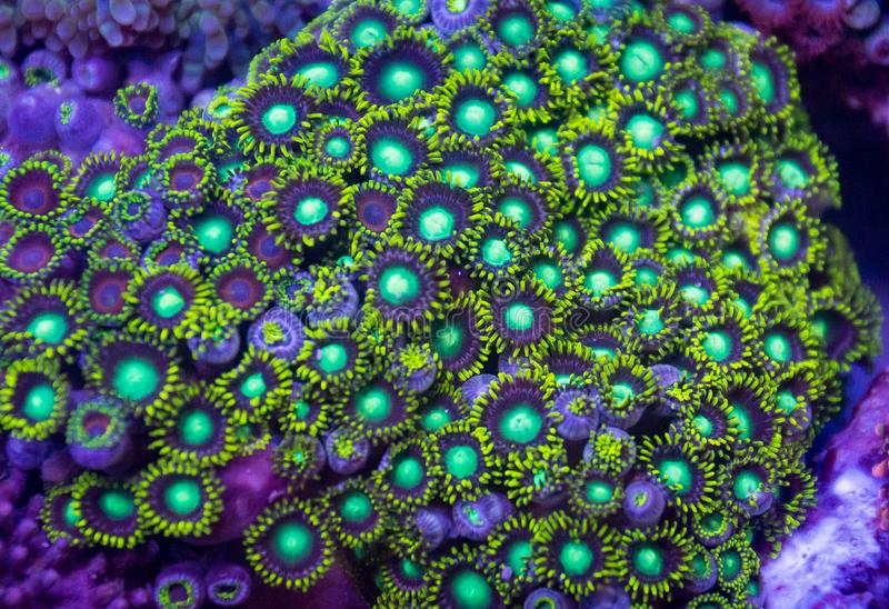 Bright Green Zoanthid Polyp Soft Corals stock photography