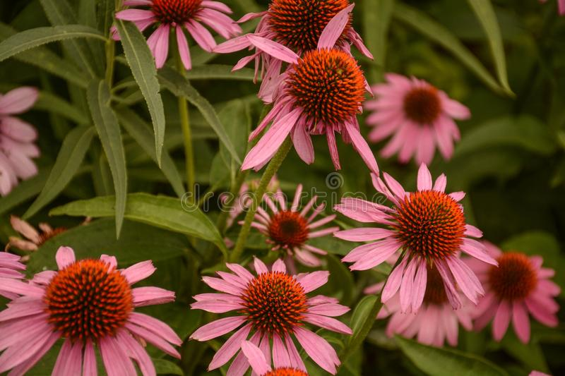 A Bright Group of Pink Cone Flowers. A view of a garden full of bright pink cone flowers royalty free stock images