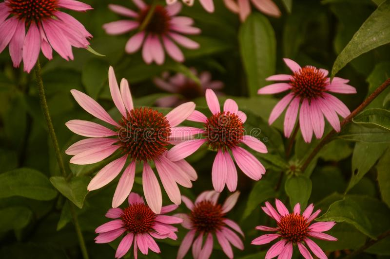 A Bright Group of Pink Cone Flowers. A view of a garden full of bright pink cone flowers royalty free stock photography