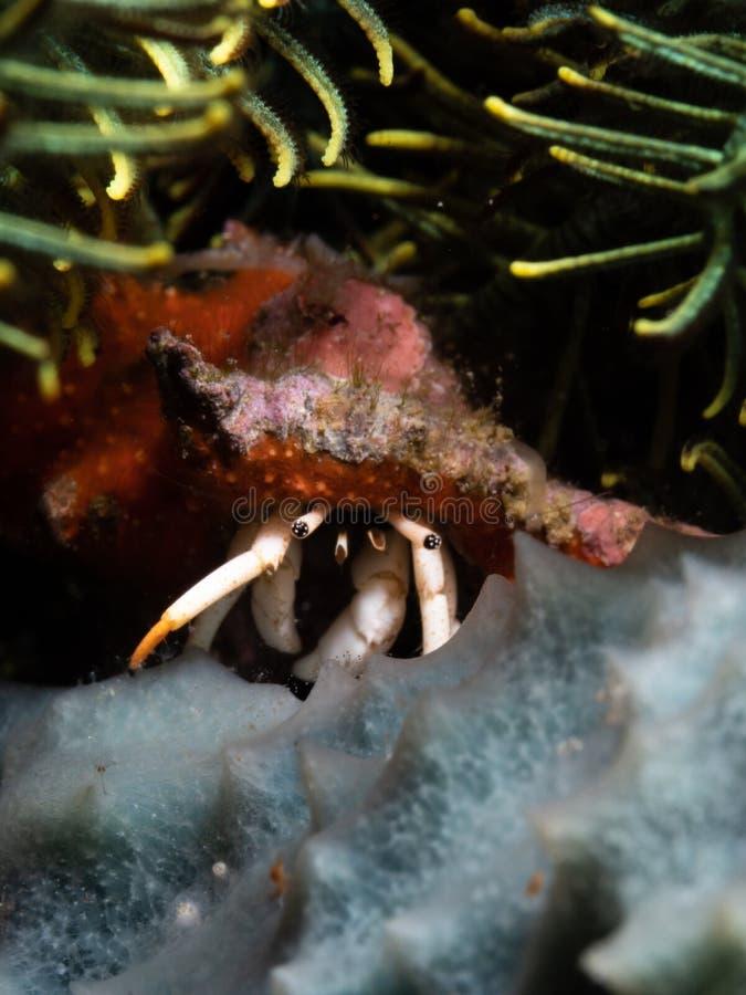 Bright Hermit crab, Calcinus nitidus. Scuba diving in North Sulawesi, Indonesia. Bright Hermit crab, Calcinus nitidus. Macro images of critters from North stock photo